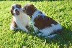 Nederlandse Kooikerhondje Puppy For Sale in HIALEAH, FL, USA