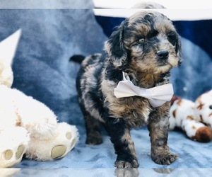 Double Doodle Puppy for sale in CLAY, PA, USA