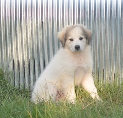 Great Pyrenees Puppy For Sale in CALDWELL, TX
