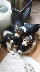 Beagle Puppy For Sale in LONGVIEW, WA