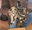 Azores Cattle Dog Puppy For Sale in AMELIA COURT HOUSE, VA, USA