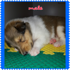 Collie Puppy For Sale in MONTOURSVILLE, PA