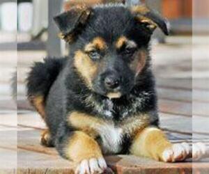 German Shepherd Dog Puppy for sale in TERRE HAUTE, IN, USA
