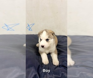 Siberian Husky Puppy for sale in MONCLOVA, OH, USA