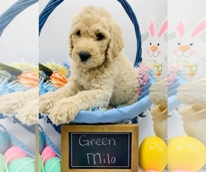 Goldendoodle Puppy for sale in KINGWOOD, TX, USA