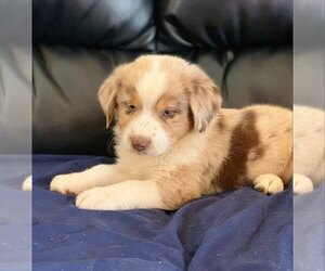 Miniature American Shepherd Puppy for Sale in CAIRNS CORNER, California USA