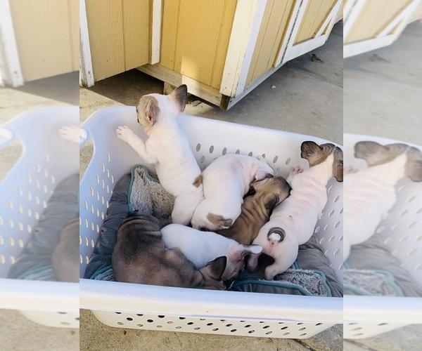 Medium Photo #11 French Bulldog Puppy For Sale in SAN DIEGO, CA, USA
