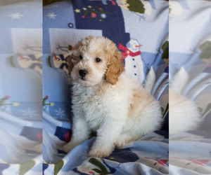 Goldendoodle Puppy for Sale in MILWAUKEE, Wisconsin USA