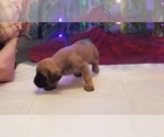 Small #2 Mastiff