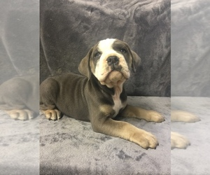 Olde English Bulldogge Puppy for sale in CHETEK, WI, USA