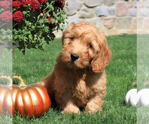Goldendoodle-Poodle (Miniature) Mix Puppy for sale in EPHRATA, PA, USA