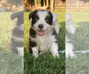 Border Collie Puppy for sale in RANSOMVILLE, NY, USA