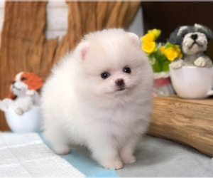 Pomeranian Puppy for Sale in CHICAGO, Illinois USA