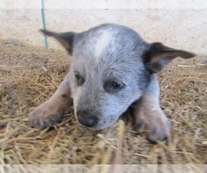Australian Cattle Dog Puppy for Sale in HUDSON, Michigan USA
