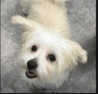 Maltipoo Puppy For Sale in BRUNSWICK, ME, USA
