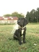 Great Dane Puppy For Sale in BRENT, AL