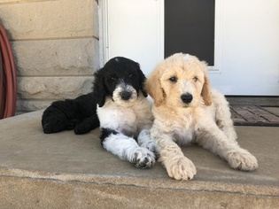 Poodle (Standard) Puppy For Sale in AUGSBURG, IL, USA