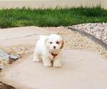 Small #3 Cocker Spaniel-Poodle (Miniature) Mix