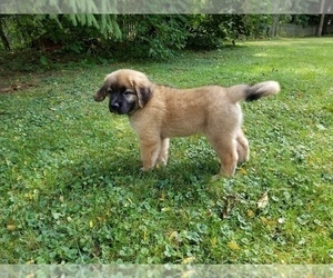 Leonberger-Saint Bernard Mix Puppy for Sale in BATH, New York USA