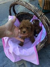 Poodle (Toy) Puppy for sale in PALO ALTO, CA, USA