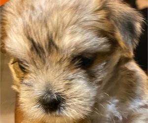Morkie Puppy for sale in PEORIA, IL, USA