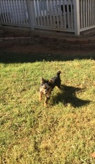 Yorkshire Terrier Puppy For Sale in MOODY, AL