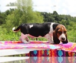 Small Photo #2 Basset Hound Puppy For Sale in UNION CITY, TN, USA