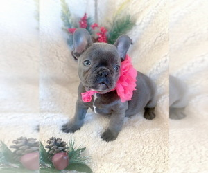 French Bulldog Puppy for Sale in BRIDGEWATER, New Jersey USA