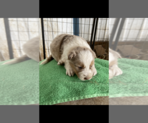 Border Collie Puppy for Sale in VALLEY FALLS, Kansas USA