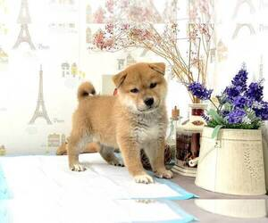 Shiba Inu Puppy for sale in RENO, NV, USA