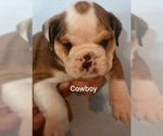 Small #16 English Bulldog