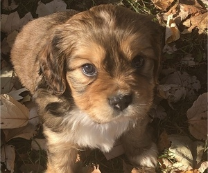 Australian Shepherd-Cavalier King Charles Spaniel Mix Dog for Adoption in INDIANAPOLIS, Indiana USA