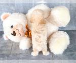 Small #2 Bichon Frise-Poodle (Standard) Mix