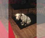 Puppy 2 American Pit Bull Terrier