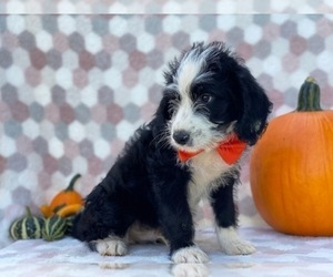 Bernedoodle Puppy for sale in LANCASTER, PA, USA