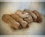 Small #2 Goldendoodle-Poodle (Miniature) Mix