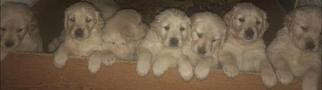 Golden Retriever Puppy For Sale in ALLEN PARK, MI, USA