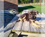 German Shepherd Dog Puppy For Sale in HARRISONBURG, VA, USA