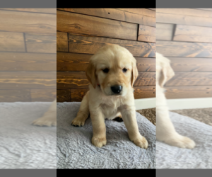 Golden Retriever Puppy for sale in DALY CITY, CA, USA