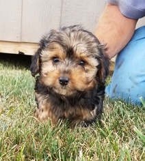 Poodle (Standard)-Yorkshire Terrier Mix Puppy For Sale in ARTHUR, IL, USA