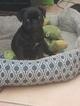 Pug Puppy For Sale in TUCSON, AZ, USA