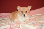 ACA Registered Pembroke Welsh Corgi Puppy