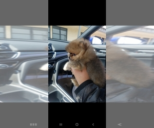 Pomeranian Puppy for sale in LATHROP, CA, USA