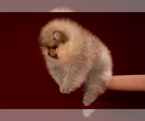 Pomeranian Dog for Adoption in MANHATTAN, New York USA