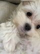 Maltese puppy ready to go