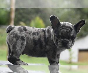 French Bulldog Puppy for sale in WESTON, CT, USA
