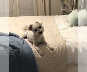 Maltipoo Dogs for adoption in SAN ANTONIO, TX, USA