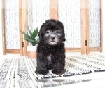 Danny Handsome Male Lhasapoo Puppy