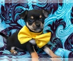Chihuahua Puppy For Sale in QUARRYVILLE, PA, USA