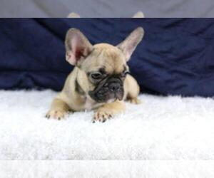 French Bulldog Puppy for sale in COCONUT CREEK, FL, USA